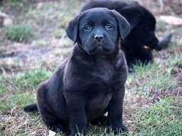 Labrador retriver, štenci