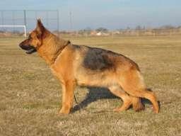 Nemački ovčar, štenci dobrog karaktera
