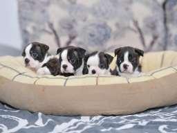 Boston terijer štenci